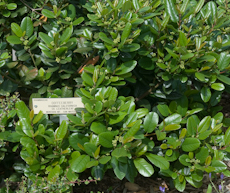Rhamnus californica cv leatherleaf 2 2
