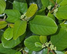 Rhamnus californica cv leatherleaf