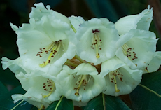 Rhododendron falconeri subsection falconera  2