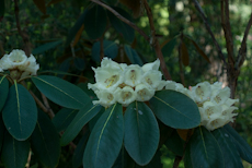 Rhododendron falconeri subsection falconera