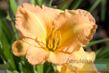 Hemerocallis butterscotch ruffles dsc 0072