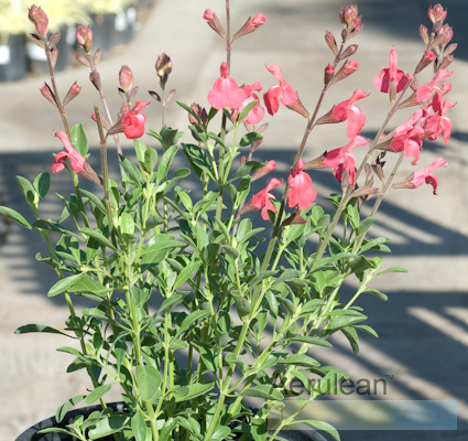 Salvia greggii watermelon autumn sage pink dsc 0024