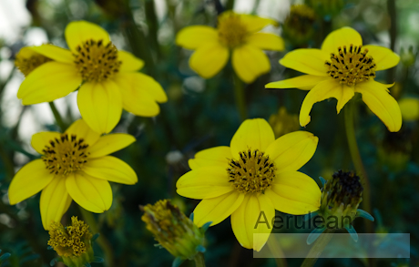 Bidens ferulifolia  yellow empire 625 0076