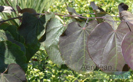 Cercis canadensis forest pansy 625 0095