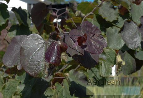 Cercis canadensis forest pansy 625 0096