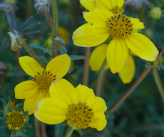 Bidens ferulifolia  yellow empire 625 0075