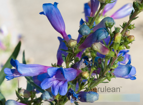 Penstemon blue spring 626 0025