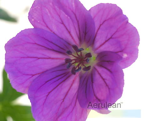 Geranium tiny monster 626 0043