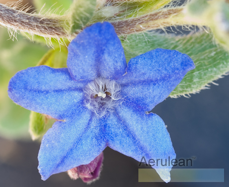 Lithodora diffusa heavenly blue 626 0043