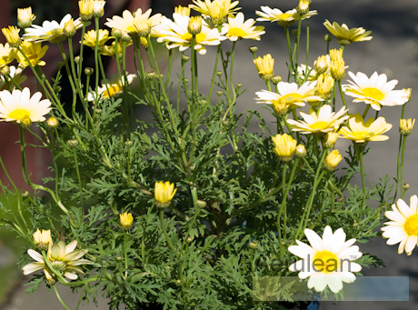 Argyranthemum frutescens sunlight  626 0065