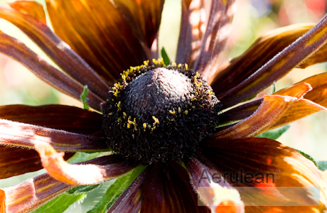 Rudbeckia hirta autumn colors  6260002