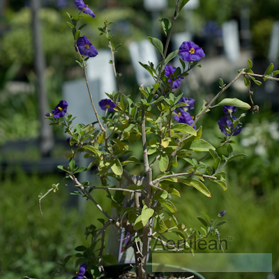Solanum rantonnetii royal robe   6260010