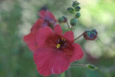 Diascia hybrida whisper cranberry red  6260021
