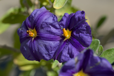 Solanum rantonnetii royal robe  6260008