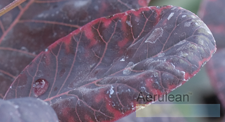 Cotinus coggygria royal purple  6260003 2