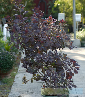 Cotinus coggygria royal purple  6260005