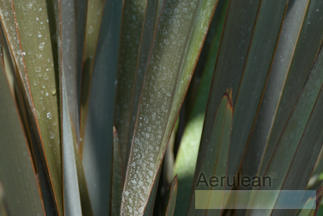 Phormium hunter green  6260002