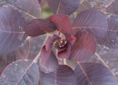 Cotinus coggygria royal purple  6260002