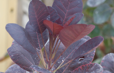 Cotinus coggygria royal purple  6260003