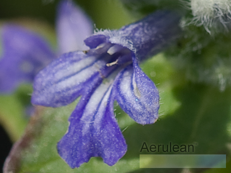Ajuga reptans jungle beauty  6260062 2