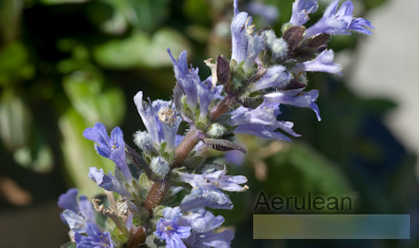 Ajuga x reptans chocolate chip  6260056