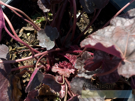 Heuchera velvet night  6260002