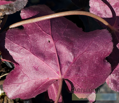 Heuchera velvet night  6260003