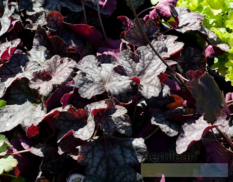 Heuchera velvet night  6260016