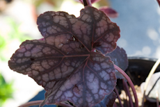 Heuchera velvet night  6260005 2