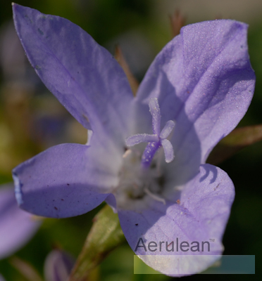 Campanula blue waterfall  6260043