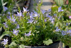 Campanula blue waterfall  6260049