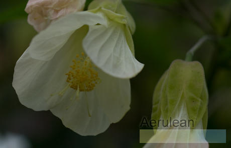 Abutilon megapotamicum lemon  6260021