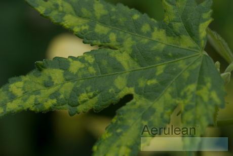Abutilon pictum thompsonii yellow  6260048