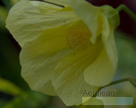 Abutilon pictum thompsonii yellow  6260052