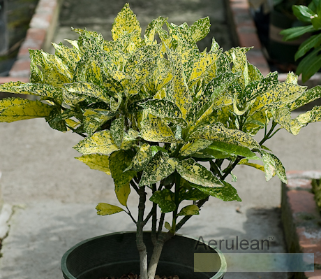 Aucuba japonica mr. goldstrike  6260073