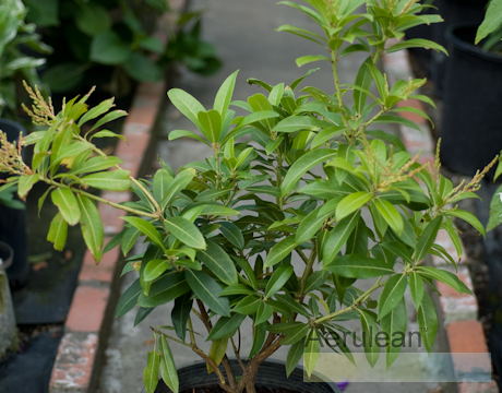 Pieris japonica mountain fire  6260046