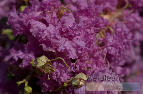 Lagerstroemia indica majestic orchid  6260013