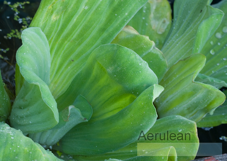 Pistia stratiotes (water cabbage)  6260052