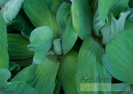 Pistia stratiotes (water cabbage)  6260062