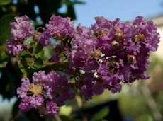 Lagerstroemia indica majestic orchid  6260014