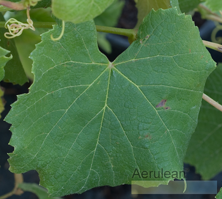 Vitis labrusca eastern concord  6260016