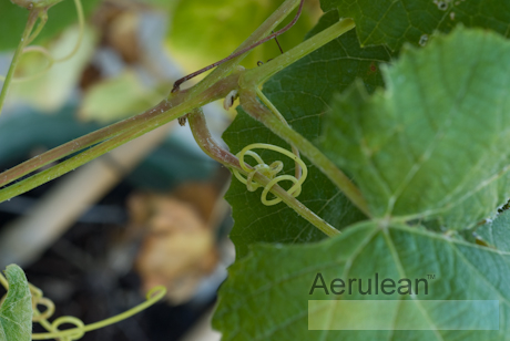 Vitis labrusca eastern concord  6260021