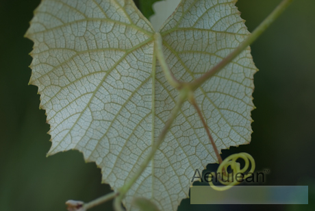 Vitis labrusca eastern concord  6260023