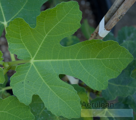 Ficus carica black mission  6260052