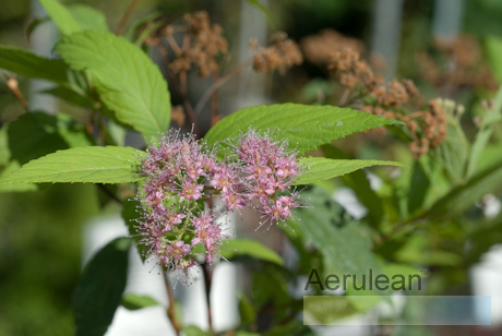 Spiraea x bumalda anthony waterer  6260058