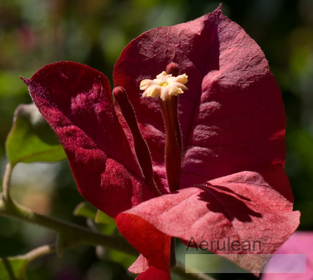 Bougainvillea monio  6260041