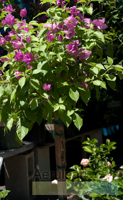 Bougainvillea patio tree  6260057