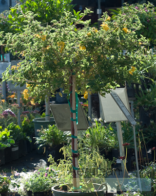 Lantana montevidensis patio tree 6260001