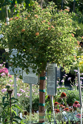 Lantana montevidensis patio tree 6260003