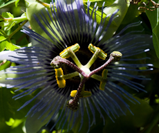 Passiflora purple haze  6260021